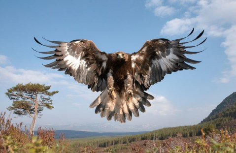 golden-eagle-wings-spread-landing-pater-cairns-northshots