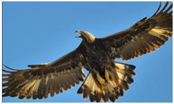 goldeneagle